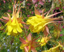 Aquilegia: Pink and yellow double