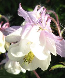 Aquilegia 1171 lilac pink & creamy double