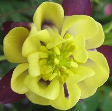 Indigo & creamy yellow double aquilegia