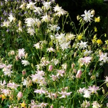 Aquilegia 1345 and 1329 loose variable doubles
