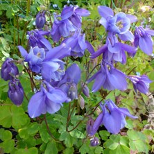 early blue aquilegia at Touchwood