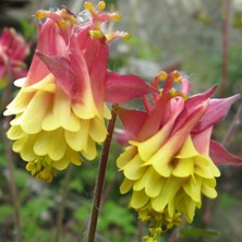 Aquilegia: Cerise and yellow double