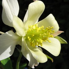 Aquilegia 1652 creamy white long-spurred at Touchwood