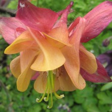 Aquilegia: Dark red and orange double