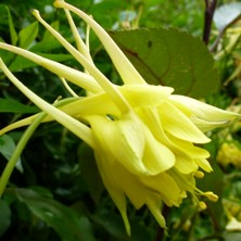 Aquilegia: Yellow double