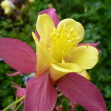 Aquilegia 2386 red & yellow long-spurred at Touchwood