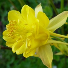 Yellow double aquilegia at Touchwood
