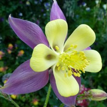 Aquilegia 2348 long-spurred at Touchwood