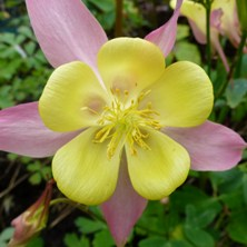 Long spurred aquilegia 2394 pink & yellow at Touchwood