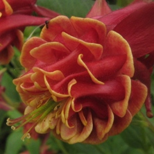 Aquilegia: Red double, yellow inside