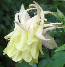Aquilegia: Light yellow double, blushed