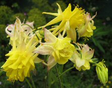 Aquilegia: Shooting Stars Mix
