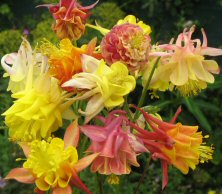Aquilegia Touchwood's 'Volcano!' mix, doubles with yellow including apricots