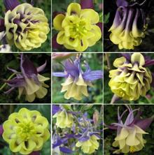 Touchwood Aquilegia '??? Mix'
