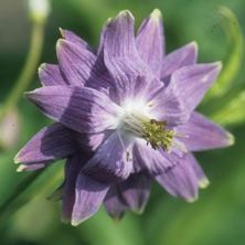 Aquilegia 'Blue Fountain' introduced by Touchwood