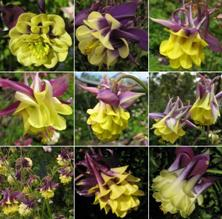 Touchwood Aquilegia Purple & yellow doubles mix
